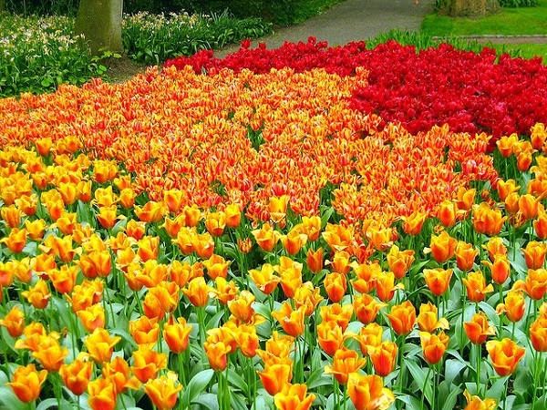 The tulips of Netherlands