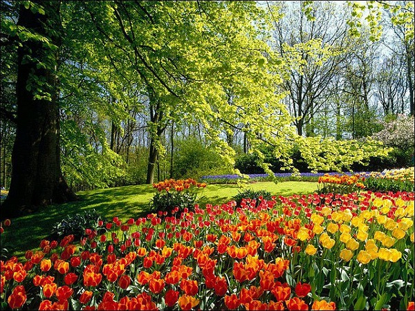Tulips in the shade