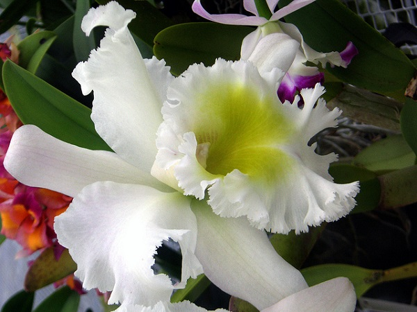 Hawaii Orchid