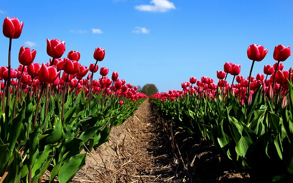 Path among the Tulips