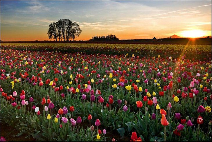 Sunset over the Tulip Fields