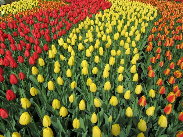 Tulip color lines